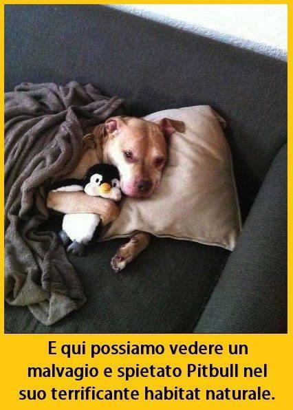 Foto pitbull che dorme con un peluche - Perche i cani scavano sul divano ...