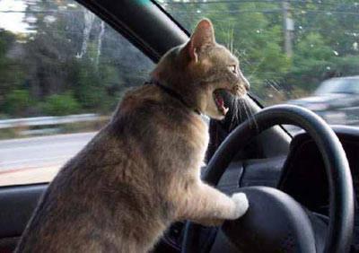 Risultati immagini per gatti in macchina