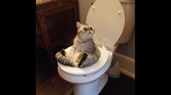 Foto gatto che si siede sul wc for Wc immagini