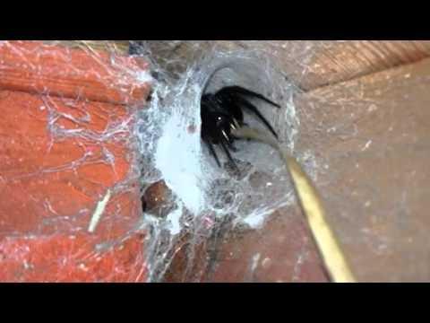 Video &; avete paura dei ragni..allora non guardate! &;
